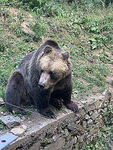 една от спасените танцуващи мечки в резервата в Белица